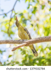 Green oriole bird looking up while perched in tree on a sunny day in tropical Darwin, Australia