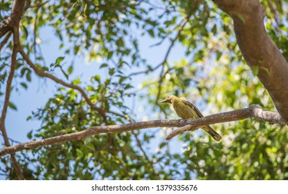 Green oriole bird perched in tree on a sunny day in tropical Darwin, Australia