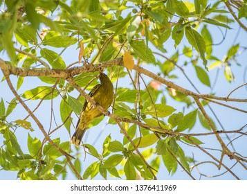 Green oriole isolated in tree branches under a bright blue sky in Darwin, Australia