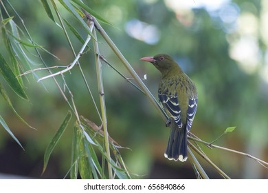 Green oriole (Oriolus flavocinctus) perched on bamboo. Cairns, Queensland, Australia.