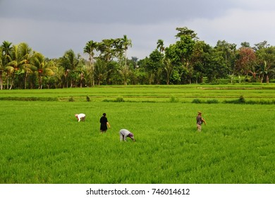 the green paddy field in Lingsar, Lombok Barat, West Nusa Tenggara.