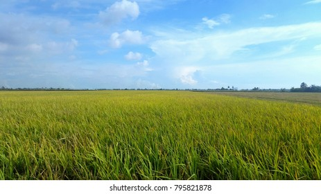 Green paddy field over the blue sky background