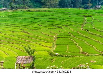 Green paddy fields in Randenigala, Sri Lanka