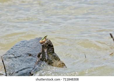 Green paddy frog on rock. Hylarana erythraea on pond.