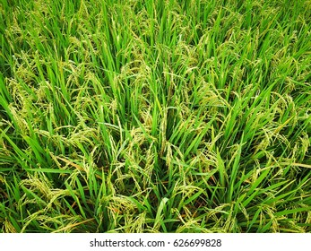 Green Paddy jasmine rice farm in Thailand