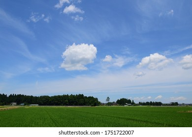 The green paddy rice field in summer.