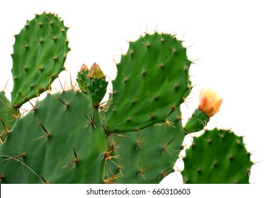 Green pads on a prickly pear cactus. (Opuntia, ficus-indica, Indian fig opuntia, barbary fig, cactus pear and spineless cactus) on streetside in Thailand. Cactus Isolated on white background.