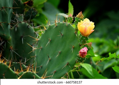 Green pads on a prickly pear cactus. Blooming yellow flowers with fruits.  (Opuntia, ficus-indica, Indian fig opuntia, barbary fig, cactus pear and spineless cactus) on streetside in Thailand.