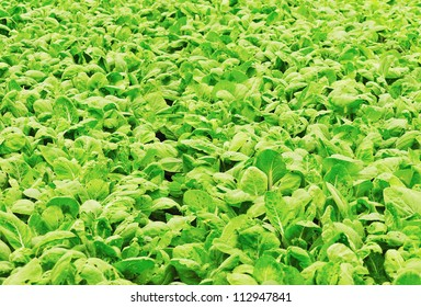 green pakchoy cabbage crops grow at field