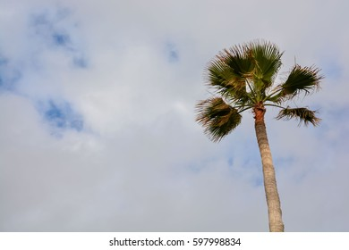 Green Palm Canarian Tree on the Cloudy Sky Background