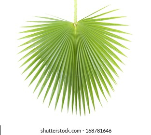 Green palm leaf isolated on white background .