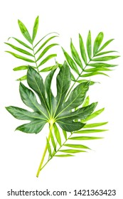 Green palm leaf and Japanese Aralia Fatsia japonica isolated on white background. Tropical jungle plants
