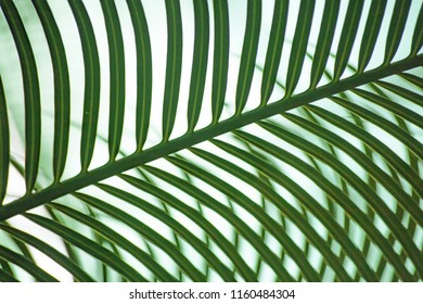A green palm leaf on white background forms a striped pattern, or ornamental background. A conservatory of the botanical garden in St Petersburg, Russia