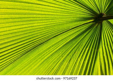 Green palm leaf with radial veins with radiant color viewed against bright sunlight