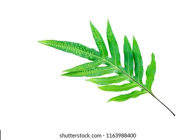 green palm leaf tropical ,Bright green leaves palm on isolated white background.