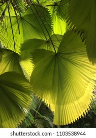 Green palm leafes