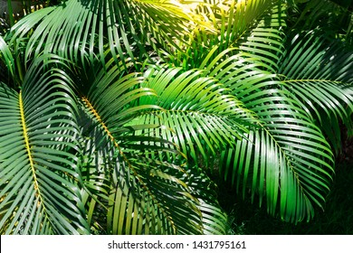Green palm leaves in the garden
