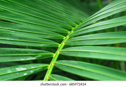 Green Palm Leaves of indoor ornamental Plant