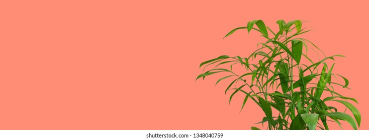 Green palm leaves isolated on coral background, bright summer concept with space for text. Summertime foliage, minimal backdrop front view.