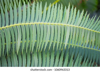 Green Palm leaves with needles, close up.