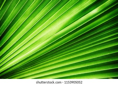 green palm leaves texture as very nice natural background