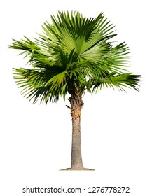 Green palm  tree isolated on a white background that separates the objects. There are Clipping Paths for the designs and decoration