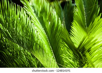 Green palm tree leaf as a background ( HDR image )