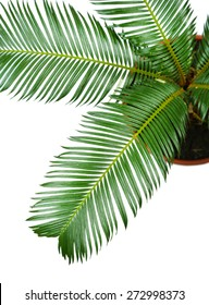 Green palm tree in pot close up