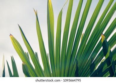 the green palma