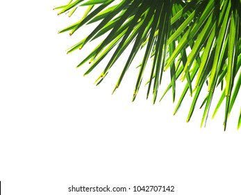 Green palms leaves isolated on white background. Borassus flabellifer, known as doub, palmyra, tala or toddy palm. Sun rays, backlight