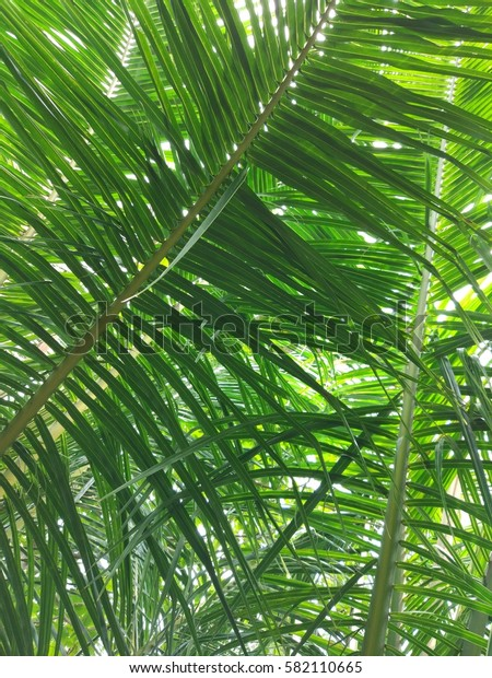 green palmtree leaves