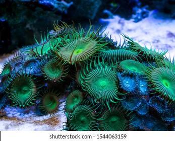 green palythoa (soft coral) in a reef aquarium
