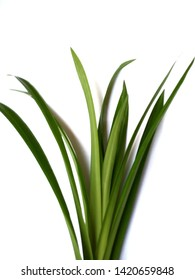 Green pandan leaves on a white background