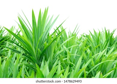 Green pandan tree isolated on white background, Garden of agriculture, planting pandan leaves for use in cooking.