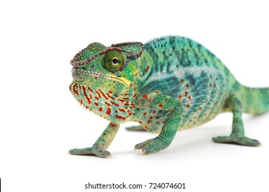 Green Panther chameleon isolated on white background