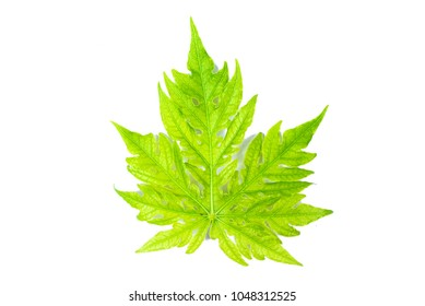 Green papaya leaves pattern isolated on white background.