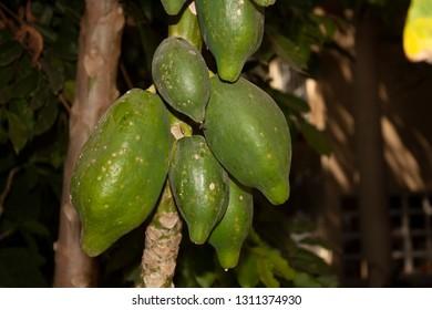 Green papayas that still hang from the tree waiting to reach maturation