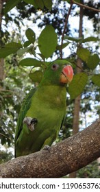 Green Parakeet (Aratinga holochlora) Native to Central America