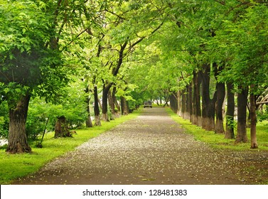 Green park, parkway, alley, blooming trees, summer scene, nobody, row of trees, Vladivostok, Russia