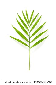 Green parlor palm tree leaf, isolated on white background.