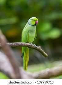 green parrot images stock photos vectors shutterstock
