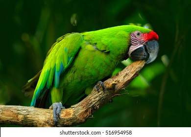 Green parrot Great-Green Macaw, Ara ambigua. Wild rare bird in the nature habitat, sitting on the branch in Costa Rica.