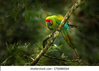 Green parrot Great-Green Macaw on tree, Ara ambigua, Wild rare bird in the nature habitat, sitting on the branch in Costa Rica. Wildlife scene in tropic forest. Dark forest with macaw parrot.