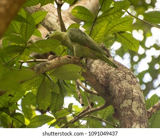 Green parrot high in a tree branch with soft focus green leaves as a background