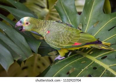 Green Parrot in Parque das Aves (Birds Park) in Foz do Iguacu, Parana State, South Brazil