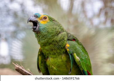 Green parrot popinjay close up with colorful feathers twittering