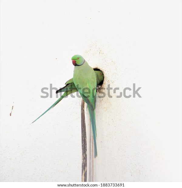 Green Parrot Searching Place To Build Nest