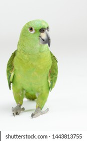 Green parrot walk  on white studio background isolated