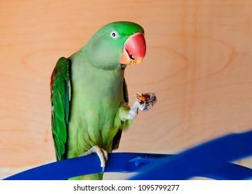 Green parrot, Yellow-chevroned Parakeet, Brotogeris chiriri, bird indoor eating fruit