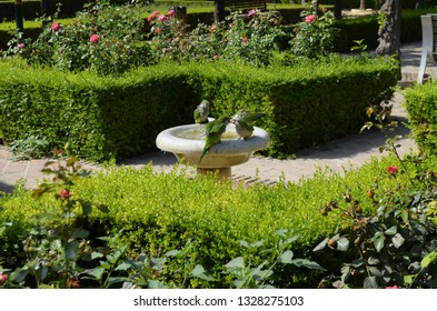 Green parrots drink water from the fountain in the Park of Malaga. Summer landscape. Parrots in the Park on the Mediterranean coast. Andalusia.